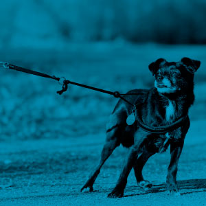 Tirar de la correa perros